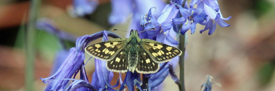 Chequered skipper butterflies are Wild About Lochaber