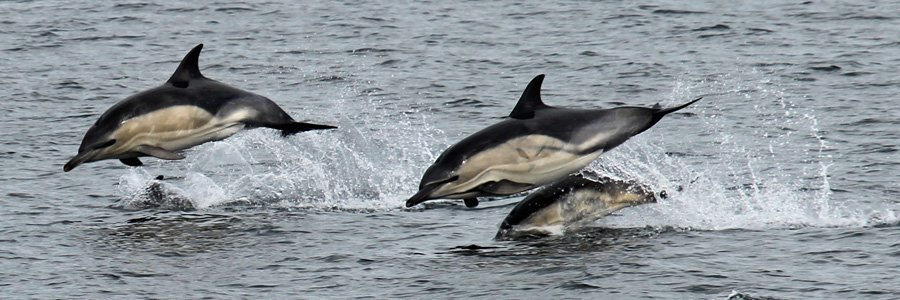 Common dolphins are Wild About Lochaber