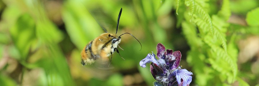 Narrow bordered bee hawk moths are Wild About Lochaber