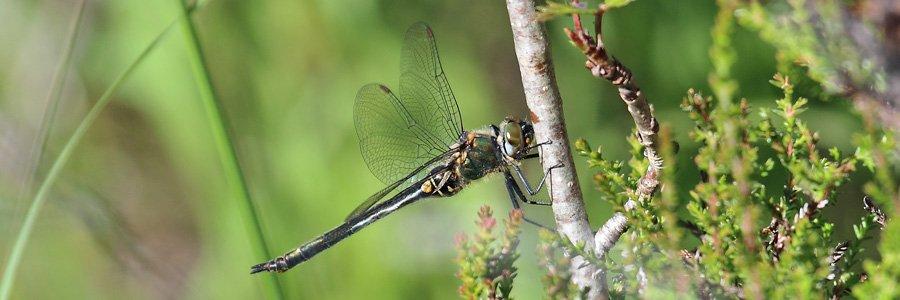Northern emerald dragonflies are Wild About Lochaber