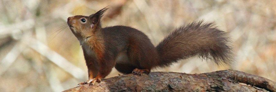 Red squirrels are Wild About Lochaber