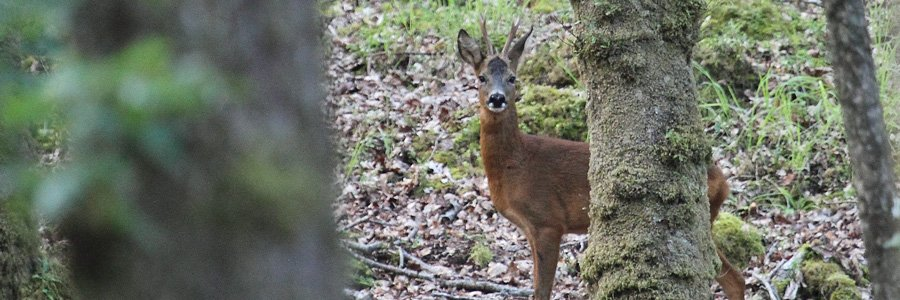 Roe deer are Wild About Lochaber