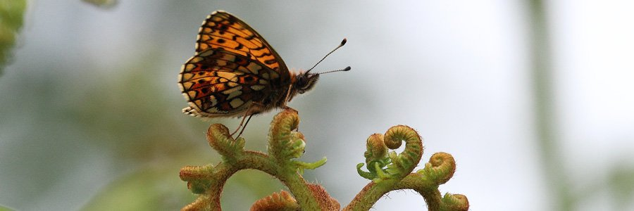 Small pearl bordered fritillary butterflies are Wild About Lochaber