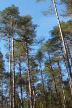 Caledonian pine wood