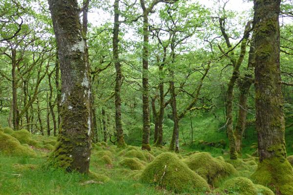 Mossy tussocks amongst the oaks in Ariundle oakwoods