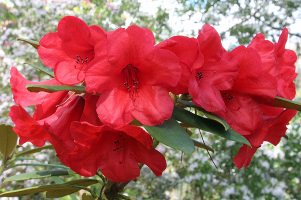 Rhododendron May Day in mid May