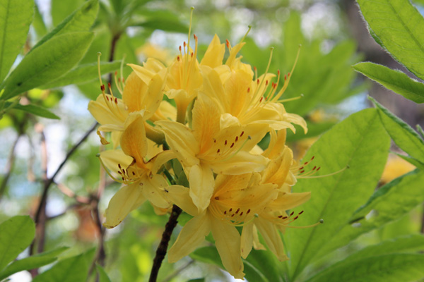 Rhododendron Luteum, Azalea in mid May