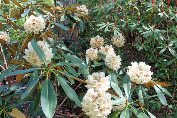 Rhododendron Rex ssp fictolecteum in mid May
