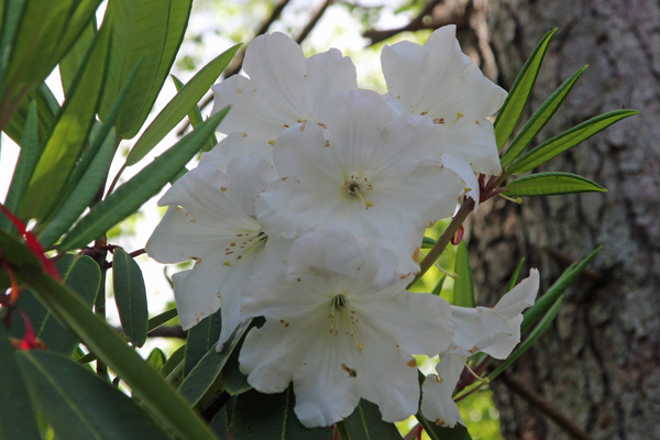 Rhododendron Loderi Group in mid May