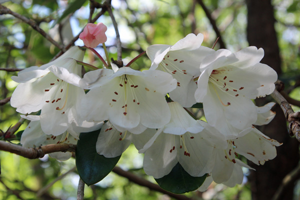 Rhododendron ardtornish cream in mid May