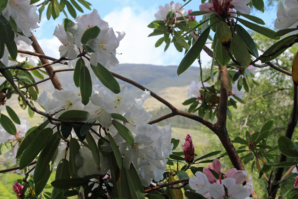 Rhododendron snow queen in Mid May