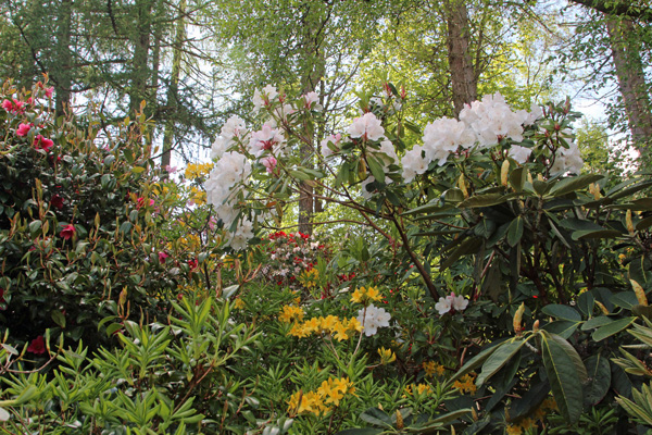 Rhododendrons at Ard Daraich gardens in mid May