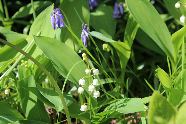 Not just rhodies - bluebells and lillies