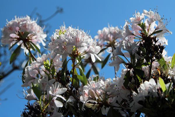 Rhododendrons at Ard Daraich gardens