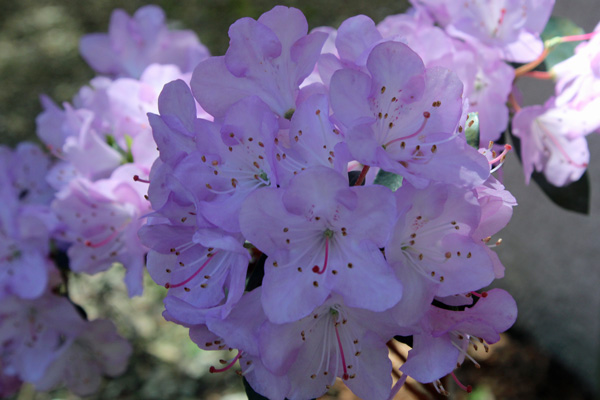 Rhododendron oreothrephes in mid May