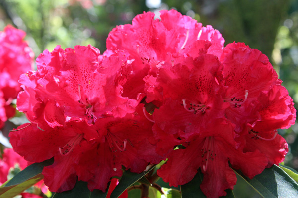 Rhododendron halfdanlem in mid May