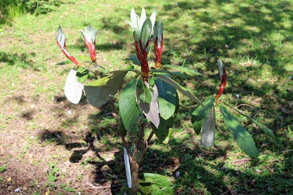 Rhododendron macabeanum aff in mid May - planting for the future