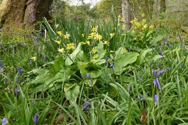 A celebration of Spring in Ardtornish Garden
