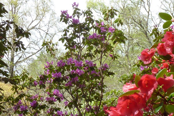 A fine collection of rhododendrons in the Rhododendron Glen