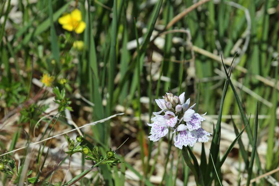 orchid rich grassland at Bourblaige