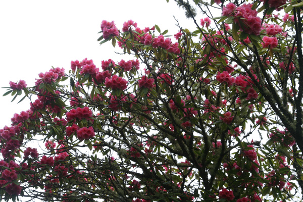 One of the many specimen rhododenrons