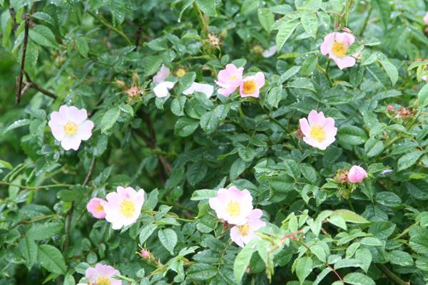 A scented wild rose