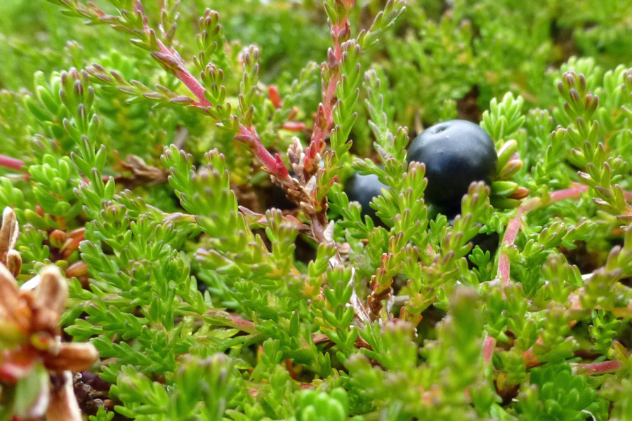 Crowberry fruit in August - take time to explore the willdife of The Nevis Range
