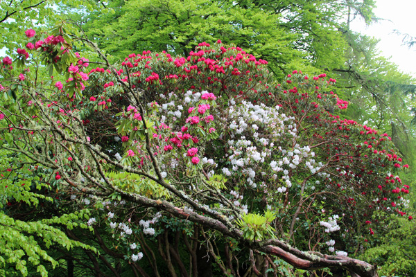 Glorious rhododendrons on the path down to the gardens in early May
