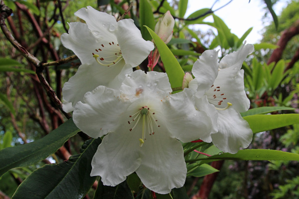 Rhododendron griffithianum (Subsection Fortunes) in early May