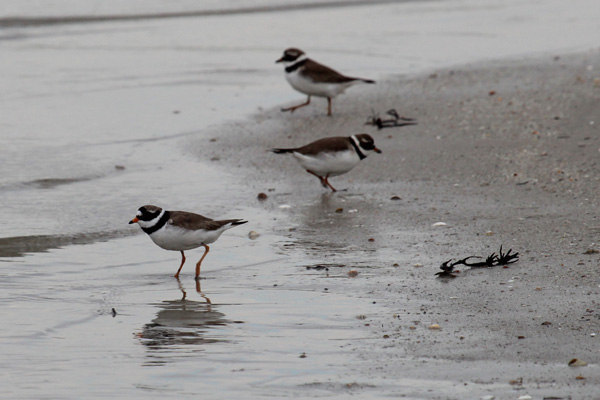 Ringed plover of Traigh beache