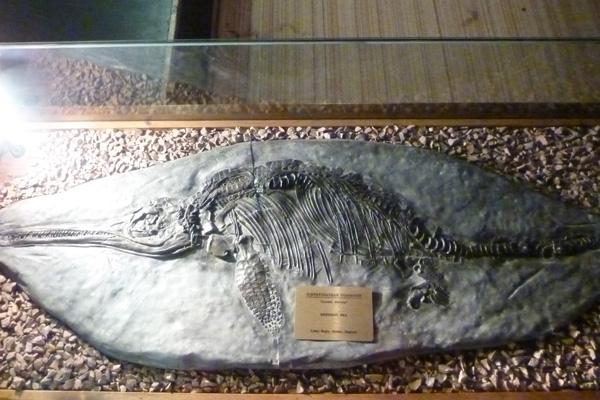 The marine reptile Ichthyosaurus communis (fish lizard)