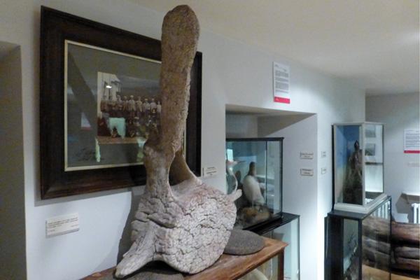 Whale bone vertebra atThe West Highland Museum