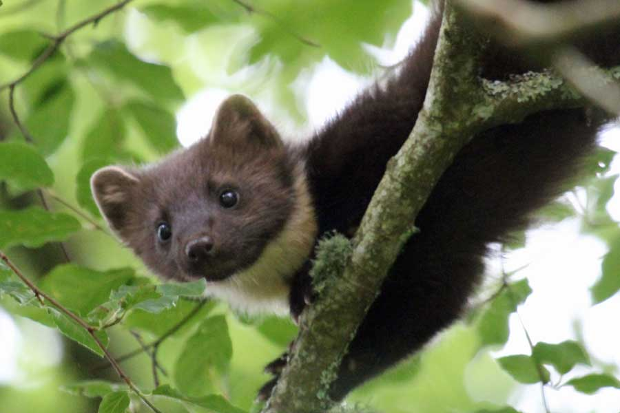 Pine martens are regular visitors to Mingarry Lodges