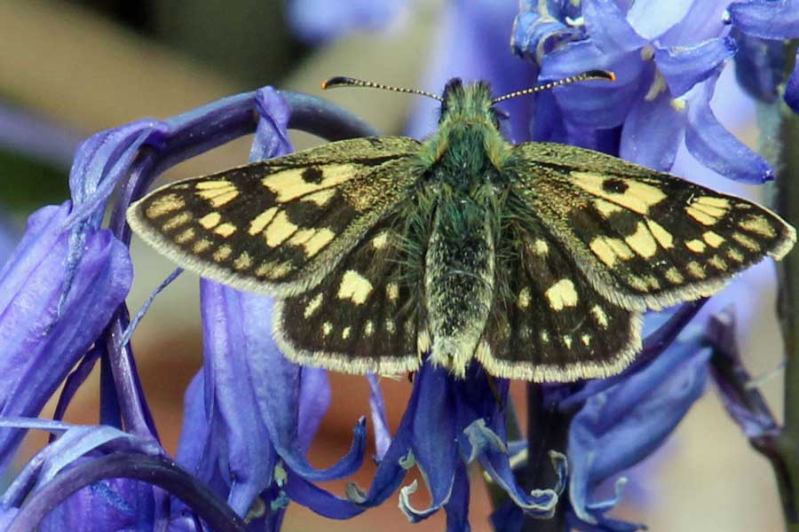 Chequered skipper butterflies have been seen at Mingarry Lodges