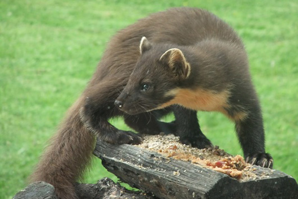 Pine marten feeding table just outside the window.