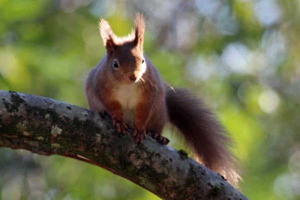 Red squirrels are often seen around Mingarry Lodges
