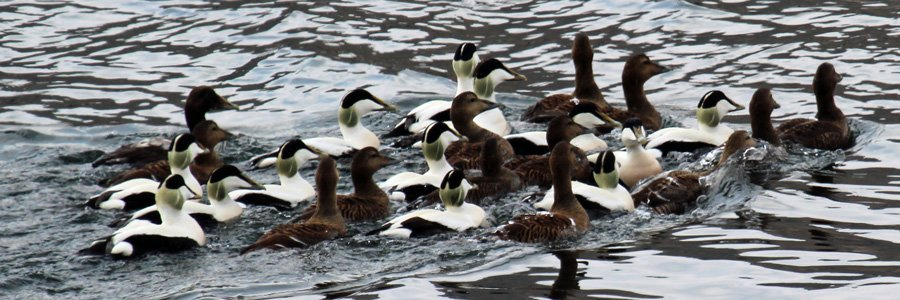 A raft of eider ducks Wild About Lochaber