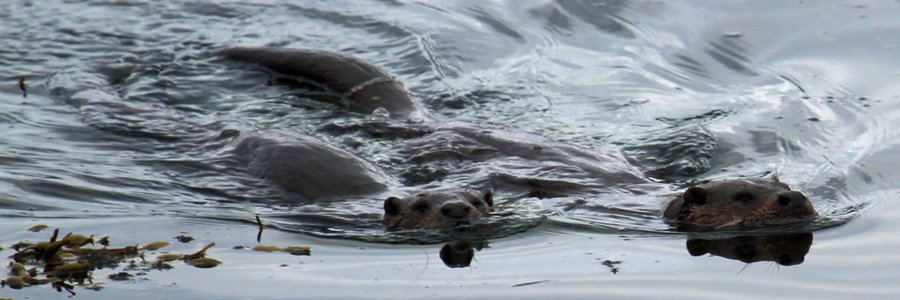 Otters are Wild About Lochaber