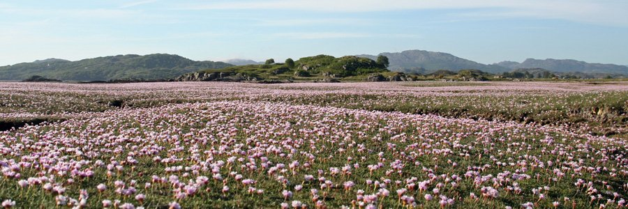 Sea thrift on the salt marsh at Kentra