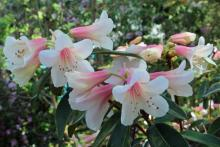 Rhododendron Pink Gin in mid May