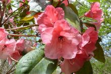 Rhododendron Cornish Cross
