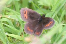 Scotch Argus at Fassfern
