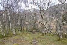 The path passes through old birch woodland - great for lichens