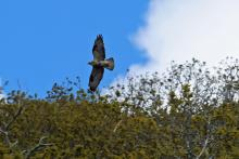 A young buzzard flying over the tree tops