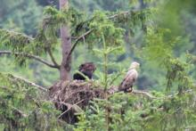 Fingal the male white tailed eagle and two chicks