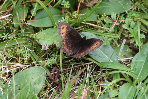 Scotch Argus butterfly in August