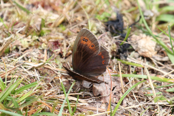 Scotch Argus butterfly in late July
