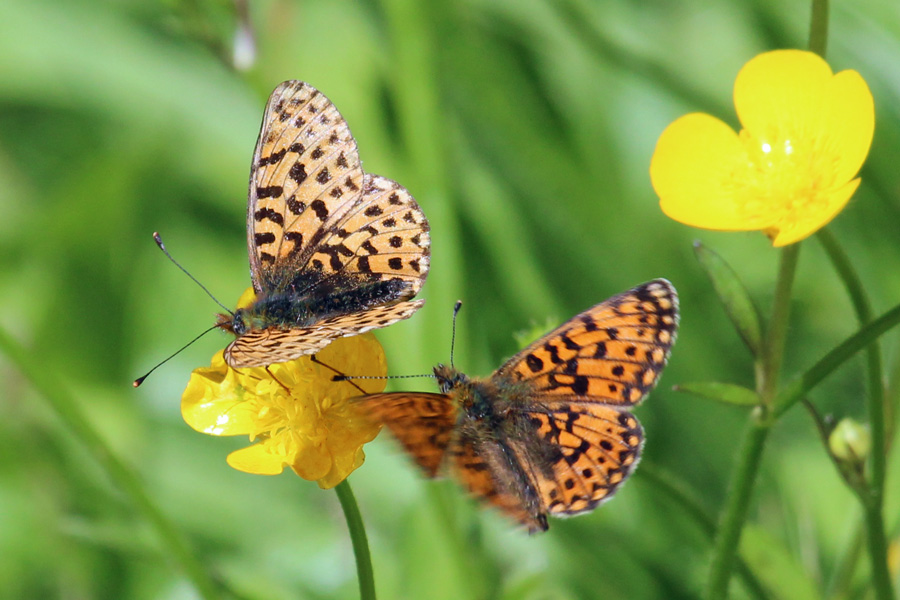 Fluttering fritillaries on The Alphabet Trail in June