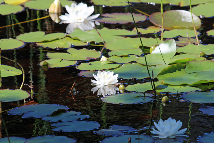 Water lillies on the lochan in early Summer