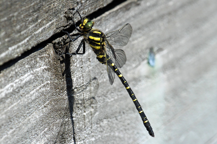Golden ringed dragonfly on The Alphabet Trail